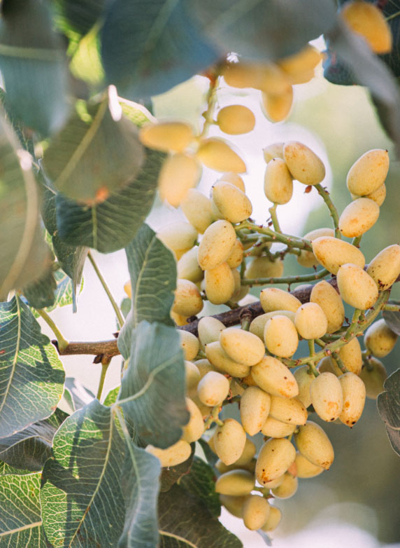 Touchstone Pistachio Kernels on Trees